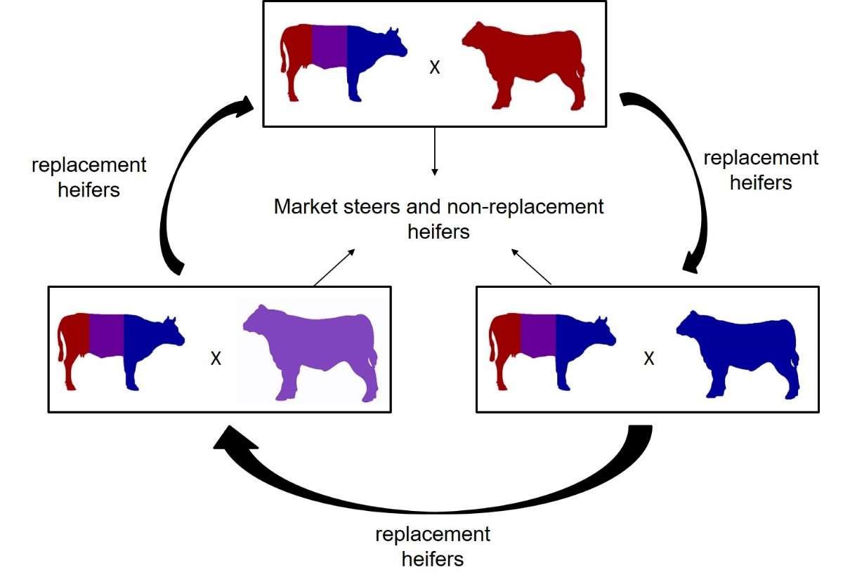 Image showing a three breed rotation