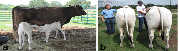 Image of myostatin gene-edited bull calf and wildtype heifer calf at an early age and later in life where the phenotypic differences are readily observed.