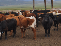 Picture of a group of cattle