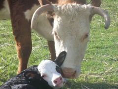 Picture of cow and calf