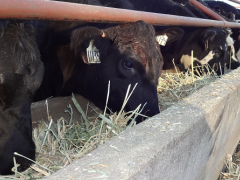cattle grazing at feed bunk