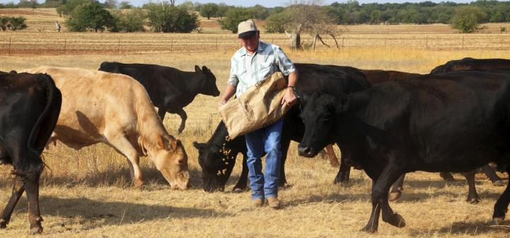 Farmer feeding cattle during drought.