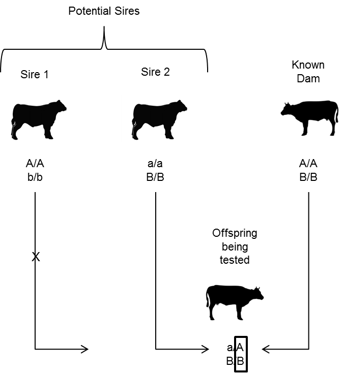 Figure depicting an example of sire exclusion using 2 genetic markers, A and B.